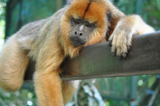Looney, the Monkey