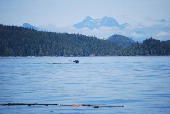 First sighting of a Humpback tail...