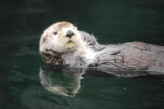 Chill Sea Otter at Vancouver Aquarium